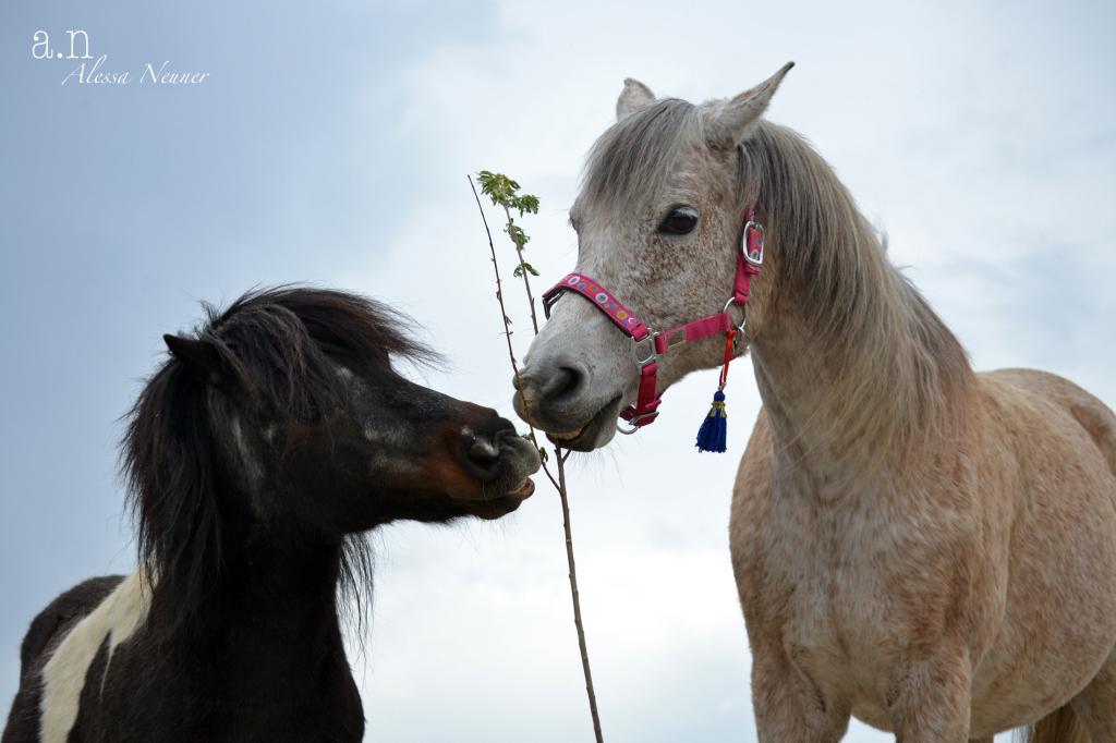 Auch ausgewählte Äste und Zweige gehören zur Raufütterung dazu. Die Pferde nehmen dieses Angebot dankend an!