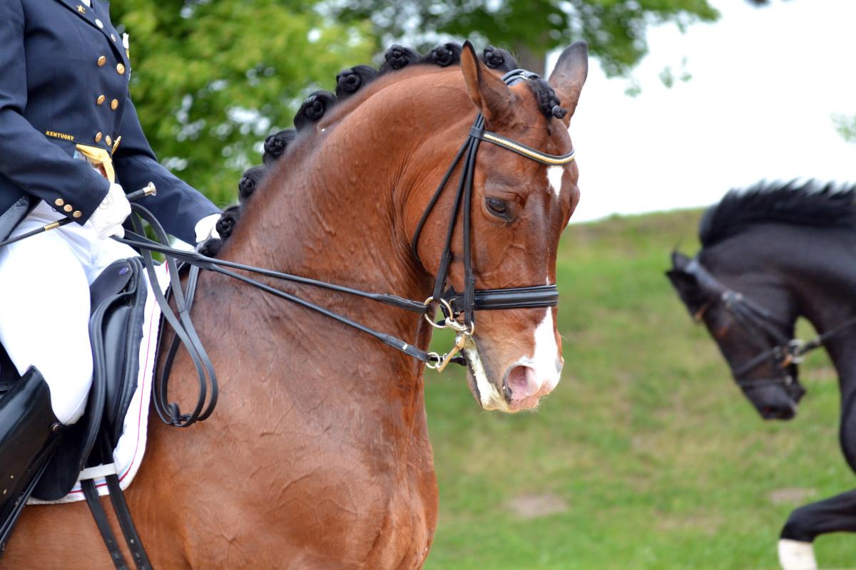 Das Pferd als Reittier - Wollen Pferde geritten werden
