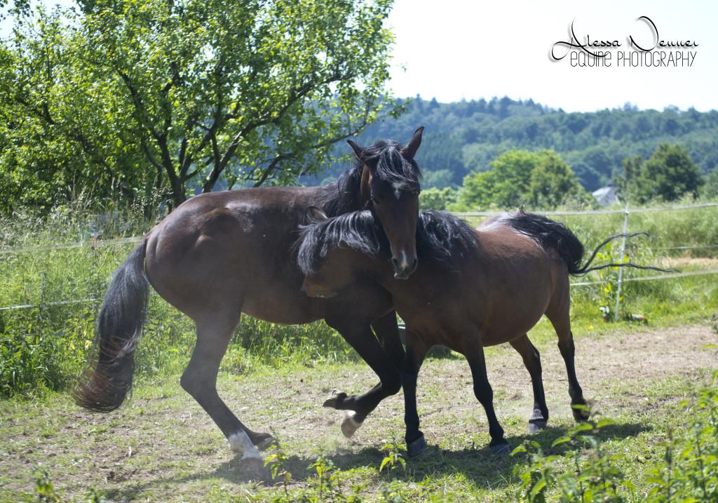Eine artgerechte Haltung mit Sozialkontakten ist für jedes Pferd ein Muss! Ein Hengst macht da keine Ausnahme...