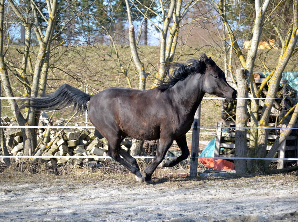 Lange Beine, kurzer Körper - hier sieht man sehr gut, wie manches Exterieur es den Pferden schwer macht, sich nicht selbst zu treten. In diesem Fall wären Hufglocken zum Schutz sicher nicht verkehrt.